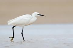 Little Egret | silkeshäger | Egretta garzetta