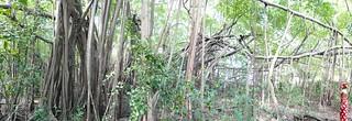 sacred banyan tree (detail)