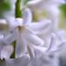 Hyacinten - en blomma som doftar.