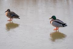 Berlin, Marzahn: Entenpaar auf dem Eis des Wuhleteichs - Mallard couple on the ice of the Wuhle Pond