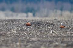 Ruddy Shelduck | rostand | Tadorna ferruginea