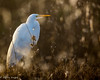 """Common Egret • <a style=""""font-size:0.8em;"""" href=""""http://www.flickr.com/photos/41960965@N08/25396844337/"""" target=""""_blank"""">View on Flickr</a>"""