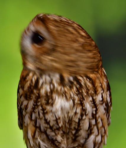 owl whoooo