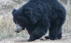 Sloth Bear India