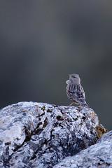 Alpine Accentor | alpjärnsparv | Prunella collaris
