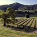 """Clos La Chance Vineyard • <a style=""""font-size:0.8em;"""" href=""""http://www.flickr.com/photos/37092860@N02/25342896158/"""" target=""""_blank"""">View on Flickr</a>"""