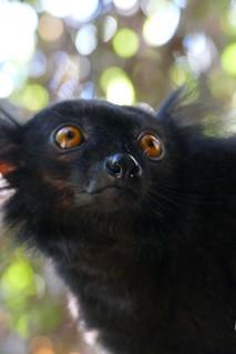 male Black Lemur