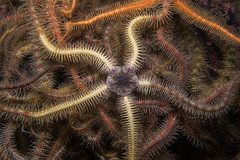 "Common Brittlestar (Ophiothrix fragilis) • <a style=""font-size:0.8em;"" href=""http://www.flickr.com/photos/51511072@N04/38426929084/"" target=""_blank"">View on Flickr</a>"
