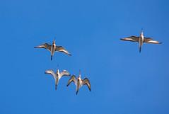 Black-tailed Godwit overhead