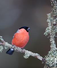 Eurasian Bullfinch | domherre | Pyrrhula pyrrhula