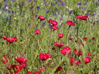 wild flowers, Angala, Western Cape