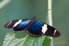 Blauwe Passiebloem vlinder