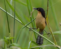 Zwartkopdonacobius-