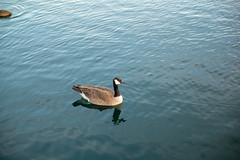 Tokina Goose