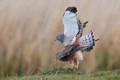 Cinereous Harrier | grå kärrhök | Circus cinereus