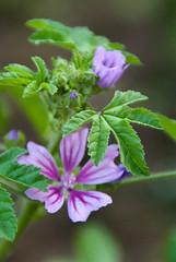 geranium sylvaticum.