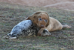 Grey Seal Pup Halichoerus grypus 042-1