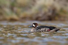 Bronze-winged Duck | bronsvingad and | Speculanas specularis