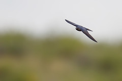 Southern Martin | sydlig storsvala | Progne elegans