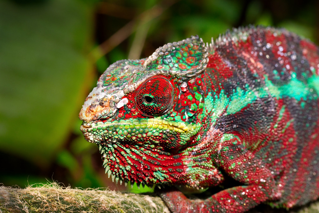 Chameleon by R.BauerPhotography, on Flickr