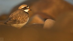Ringed Plover during the golden hour