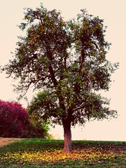 A pear tree in autumn