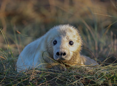 Grey Seal Pup Halichoerus grypus 131-1