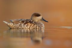 Marbled Duck | marmorand | Marmaronetta angustirostris