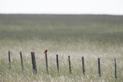 Long-tailed Meadowlark | långstjärtad ängstrupial | Sturnella loyca