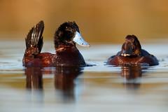 Andean Duck | andinsk kopparand | Oxyura ferruginea