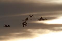 Chilean Flamingo | chileflamingo | Phoenicopterus chilensis