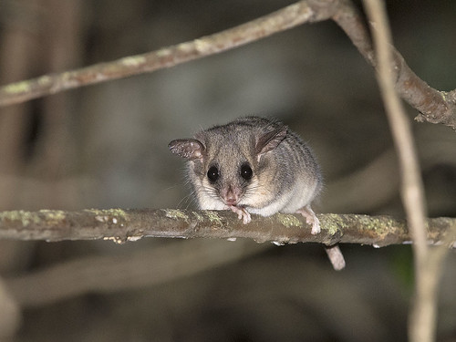 "Eastern Pygmy-possum - Toolangi SF, Vic • <a style=""font-size:0.8em;"" href=""http://www.flickr.com/photos/95790921@N07/45160130674/"" target=""_blank"">View on Flickr</a>"