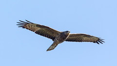 Bivråk Honey Buzzard