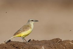Tropical Kingbird | tropisk kungstyrann | Tyrannus melancholicus