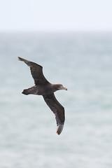 Northern Giant Petrel   nordlig jättestormfågel   Macronectes halli