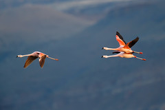 Chilean Flamingo | chileflamingo | Phoenicopterus chilensis
