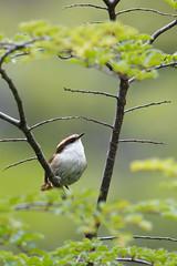 Thorn-tailed Rayadito   chiletörnstjärt   Aphrastura spinicauda