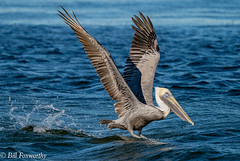 Sony ILCE-A9, Pelican Power Take-Off, 3110, 1-1600, f-9, ISO 640, 321mm _
