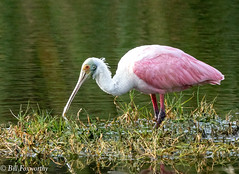 Sony ILCE-A9, Roseate Spoonbill, 6850, 1-1250, f11, ISO 1250, 560mm _