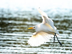 Sony ILCE-A9, Cattle Egret, 5605, 1-1600, f8, ISO 800, 560mm _
