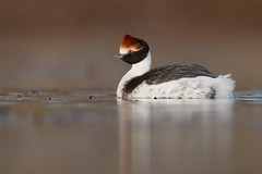 Hooded Grebe | kamdopping | Podiceps gallardoi