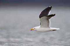 Kelp Gull | kelptrut | Larus dominicanus