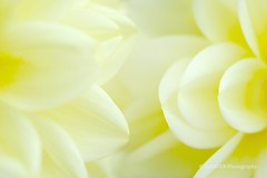 Petals of Yellow Dahlia