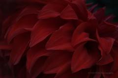 Petals of Red Dahlia