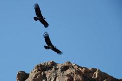 Andean Condor   kondor   Vultur gryphus