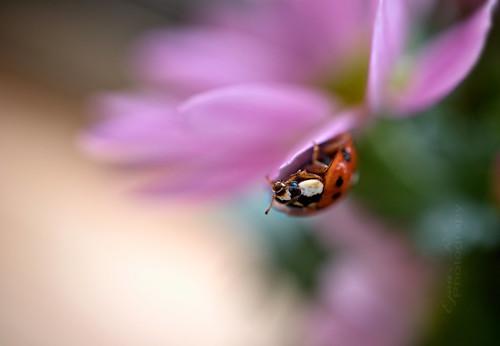 Ladybird /A harlekinkatica/ Harmonia axyridis
