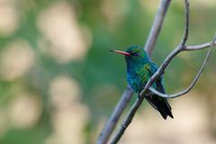 Glittering-bellied Emerald | glanssmaragd | Chlorostilbon lucidus