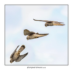 Kestrel spies prey - sequence