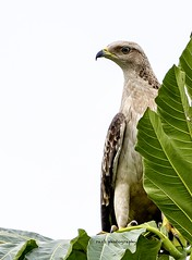 Oriental honey buzzard #orientalhoneybuzzard