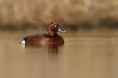 Ferruginous Duck | vitögd dykand | Aythya nyroca
